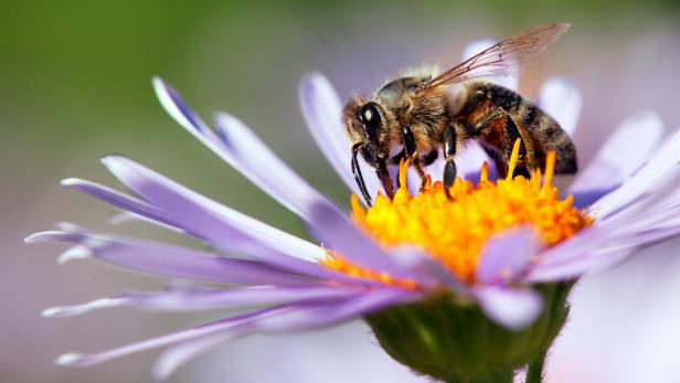 Cannabis Extracts May Extend the Life of Bees