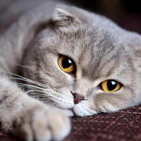 best breeds of house cats memphis vet 1 1